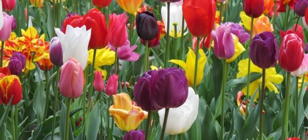 Tulpen_in_Meersburg